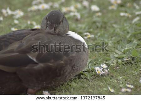 Duck resting in meadow #1372197845