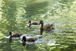 Duck's Family. A female Mallard duck, with three baby ducklings paddling in the water. A mother duck swims with newly hatched baby ducks. Duck on the water. Mallard swims.