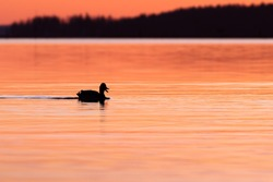 Duck silhouette on beautiful sunset. Spring night on Finland.