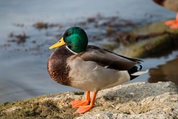 duck sits on a stone near a pond