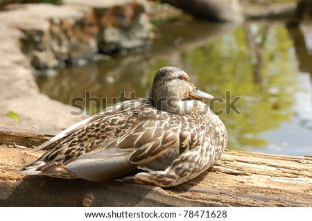 Duck, sitting by a pond