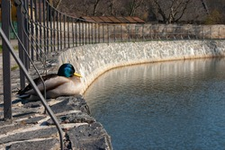Duck sitting on the bank of a water reservoir in the park.