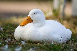 duck, sleeping in the sun