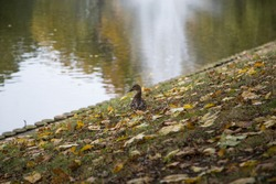 Duck stands on the banks of the canal in a city park in the city of Riga.