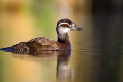 Duck swimming in lake. White headed Duck  White headed Duck Oxyura leucocephala