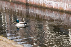 Duck swimming in the water of a canal in Arnhem. Water flows.