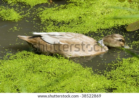 Duck Swimming on Pond Covered with Common Duckweed Lemna Minor