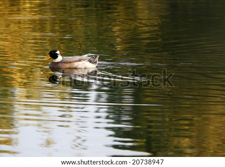 Duck swimming on the lake