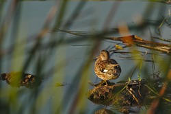 Duck waiting for sunset on a lake near Quinta do Lago, Algarve, Portugal. Nature and outdoors