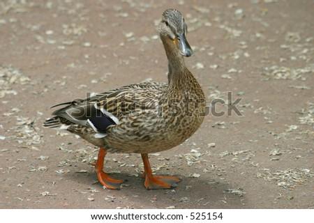 Duck Walking on Dirt