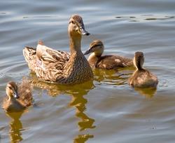 duck with her children