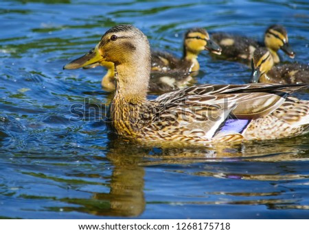 Duck with offspring on the lake #1268175718
