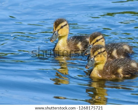 Duck with offspring on the lake #1268175721