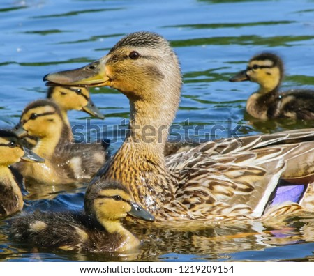 Duck with offspring on the water #1219209154