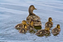 Duckling Family Swimming Together