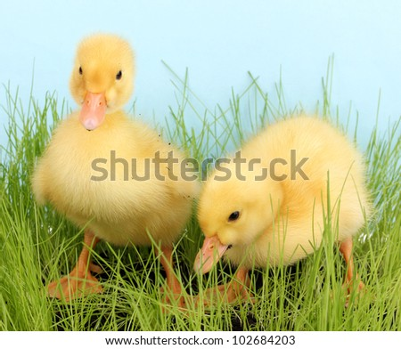 Duckling in green grass on blue background #102684203