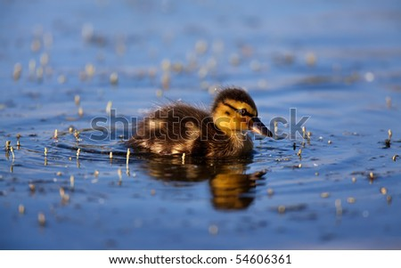 Duckling in the lake