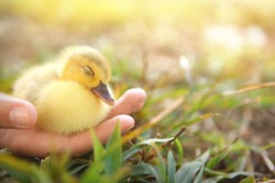 Duckling sleeping in hand, newborn baby Muscovy duck safe and protected