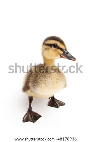 duckling standing isolated on white - young baby female Mallard duck closeup (Anas platyrhynchos)
