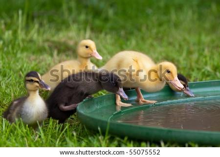 Ducklings trink water