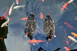 Ducks along with Koi fish swim in the pond.Colorful koi fish at surface of pond