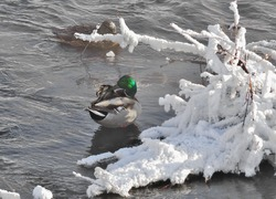 Ducks (Anas platyrhynchos) wintering in the unfrozen river with snow covered branches of shrub on foreground