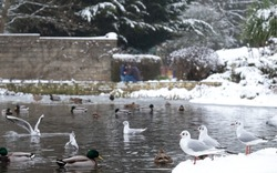 Ducks and birds including seagulls on the frozen pond at Pinner Memorial Park, Pinner, Middlesex, UK. Photo taken on an icy January day after heavy snowfall.