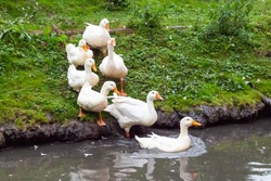 Ducks and goose with orange beaks and paws going in an artificial pond with muddy water on a summer day at a farm yard.