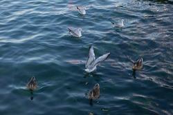 Ducks and gulls on the water. Sea birds. Waterfowl. Beautiful birds up close. Birds of migratory birds. Ornithology. Bird flock. Rookery.