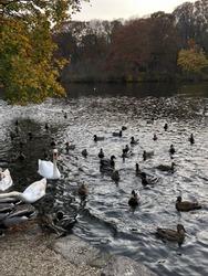 Ducks and Swans, Avalon Park, Fall