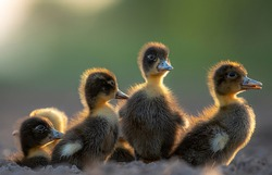 Ducks are wonderfully hardy, inexpensive, and easy to care for. They can live up to 20 years and make gentle and amusing pets.  NEVER keep just one duck this is cruel. Ducks are highly social animal