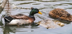 Ducks catch fish in the water