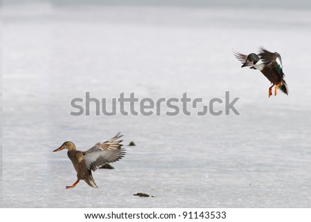 Ducks coming in for a landing on frozen pond