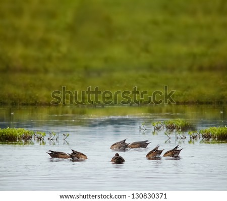 Ducks diving in a lake