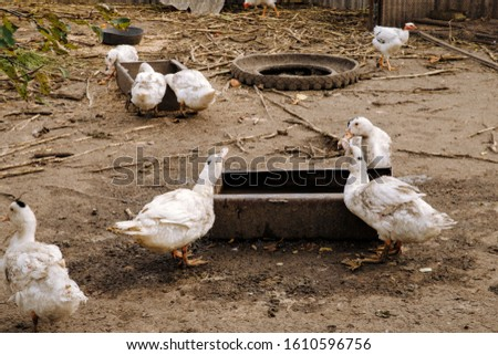Ducks drink water, Ducks drink water, White ducks drink water