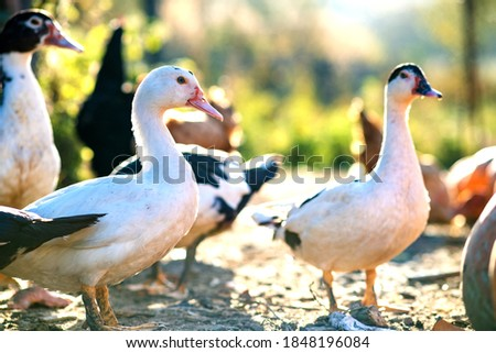Ducks feed on traditional rural barnyard. Detail of a duck head. Close up of waterbird standing on barn yard. Free range poultry farming concept. Photo stock ©