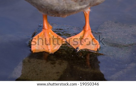 Ducks feet