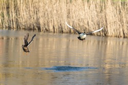 Ducks fly over the water of a forest lake. Duck hunting in autumn or winter. Spring landscape with wild birds. Nature Park Oostvaardersplassen in Almere and Lelystad, province Flevoland, Netherlands.