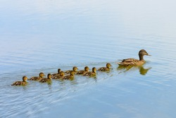 Ducks follow me, cute ducklings (duck babies) following mother in a queue,lake,symbolic figurative harmonic peaceful animal family portrait following team grouping together group trust safety harmony