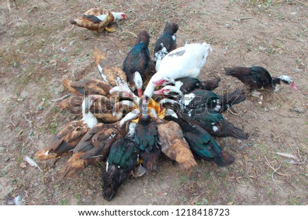 Ducks geese and muscovy ducks eat pumpkin in poultry. Poultry feeds in yard
