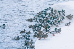Ducks go ashore. A lot of ducks on the edge of the ice.