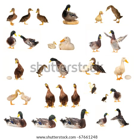 ducks histories on a white background