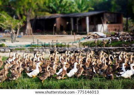 Ducks in country garden #775146013