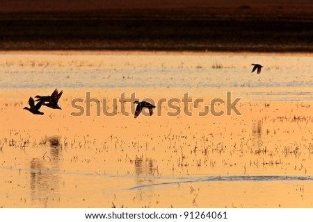 Ducks in Flight Sunrise Saskatchewan Canada