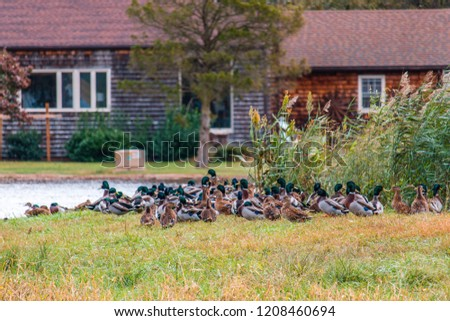 Ducks in Marsh #1208460694