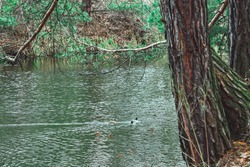 ducks in river canal over the pine forest