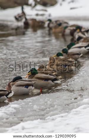 ducks in the winter - stock photo