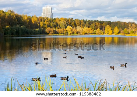 ducks in urban lake in autumn day