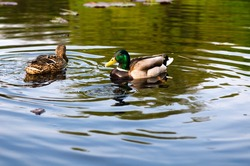 ducks in water of lake