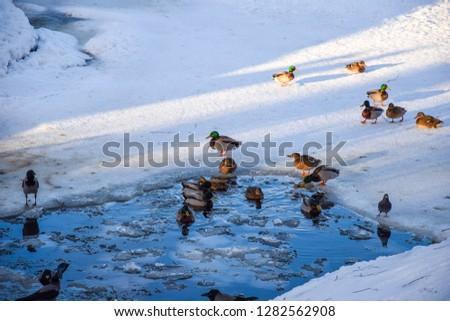 Ducks in winter ice water. Ducks swim in winter water